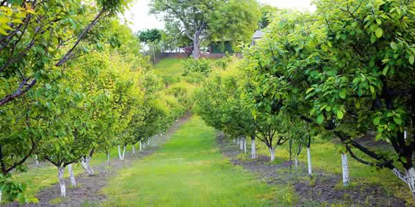 Apricots in agroforestry