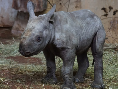 Rhino baby in a zoo