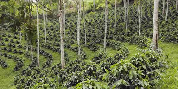 Coffee agroforestry plantation