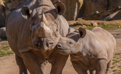 endangered-rhino