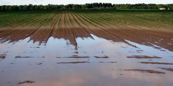 Flooded monoculture field
