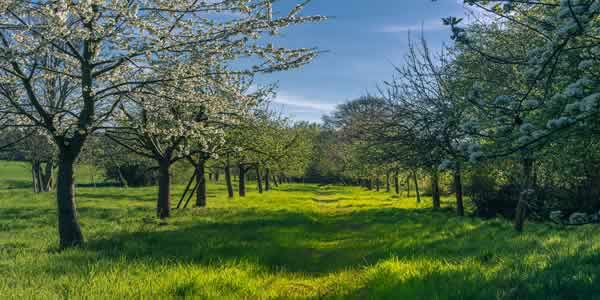 Apple tree and hay meadow agroforestry