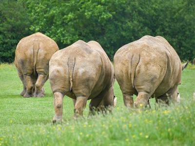 Grazing group of rhinos