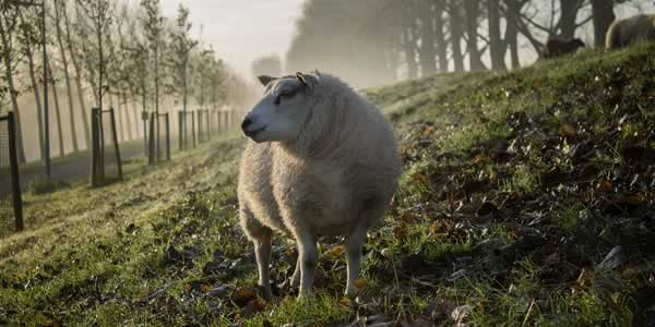 Sheep in agroforestry system