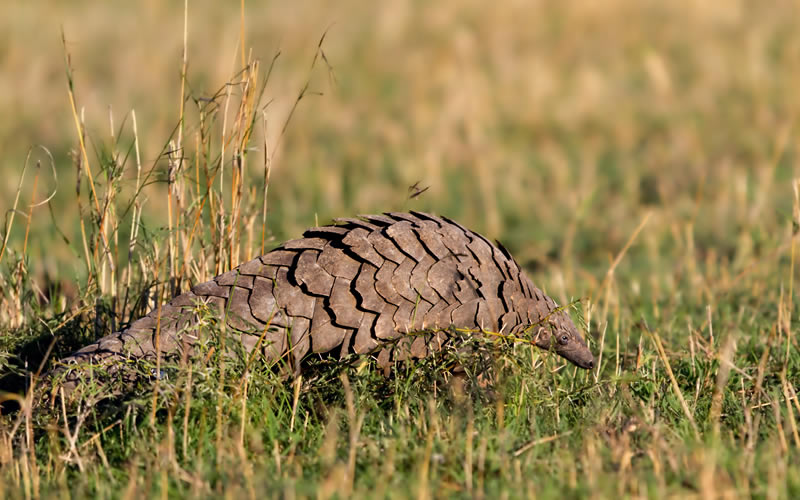 why are pangolins endangered