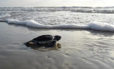 endangered sea turtles