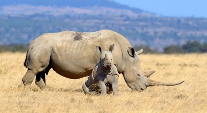 Wildlife conservation campaign saving rhinos