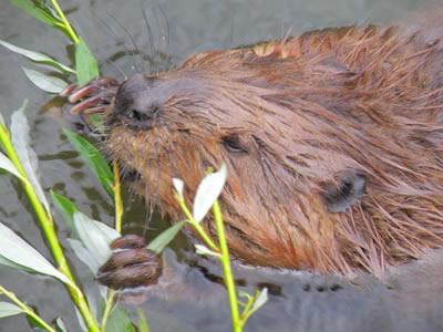 Beaver as one of the keystone species