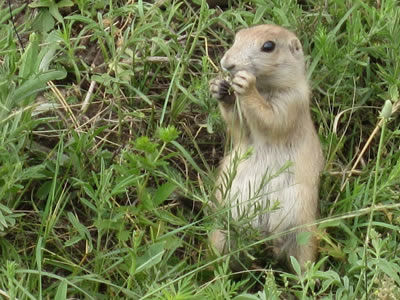 Prairie dogs have a keystone role in the ecosystem.