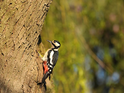 Woodpecker is a doctor of forest.