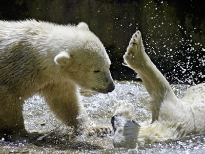Two polar bear cubs playing