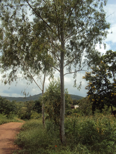 eucalyptus trees are used for various domestic purposes