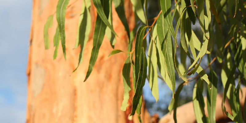 Eucalyptus Under Pests Attack In Malawi