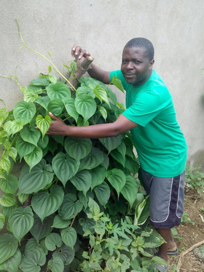 Mpofu comforting an air potato or yam plant
