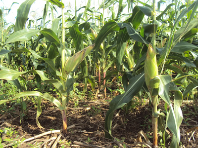 Conservation agriculture maize crop field