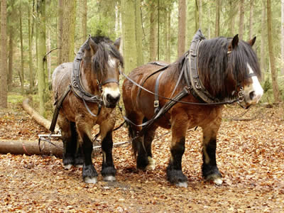 Draft horses hauling wood
