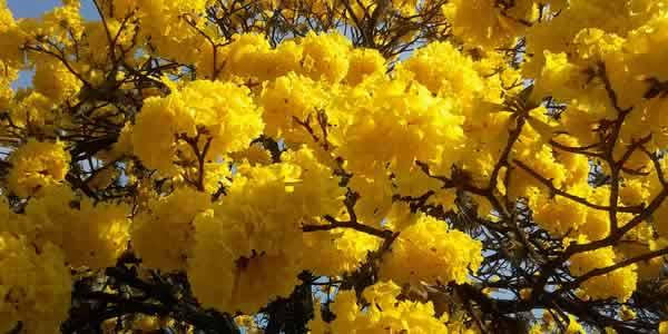 Lapacho tree