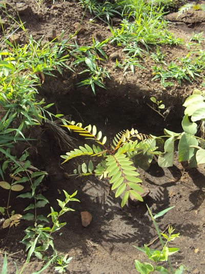 One of the newly planted acacia tree on Kadewere mountain