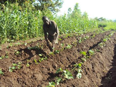 Peter Jonam working on his sweet potato garden