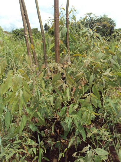 Eucalyptus tree is loved by most Malawians for its ability to regenerate after being cut down