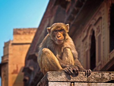 A monkey thriving in the city alongside us.