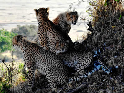 Cheetah family with too narrow genetic code
