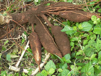 Cassava production releases toxic byproducts