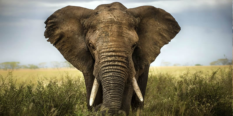 Fascinating facts about elephants