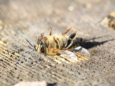 Agricultural pesticides kill bees