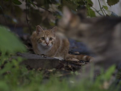 Cats are avid hunters and can decimate vulnerable species when introduced to new locations.