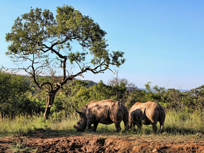 Rhino couple grazing