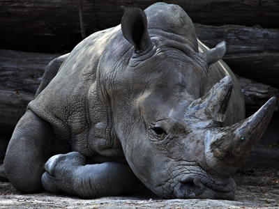 A rhino is resting