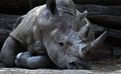 Rhino at the edge of extinction
