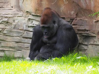 Lonely gorilla
