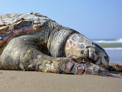 Sea turtles are vulnerable to many current threats.