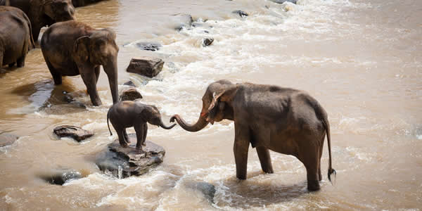 Endangered elephants crossing river