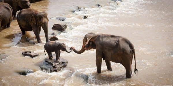 Endangered elephants crossing river