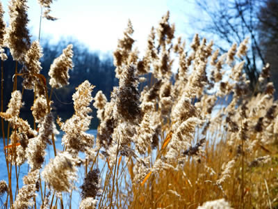Invasive phragmite plants