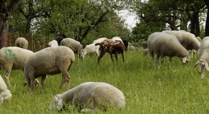 Sheep in agroforestry practice