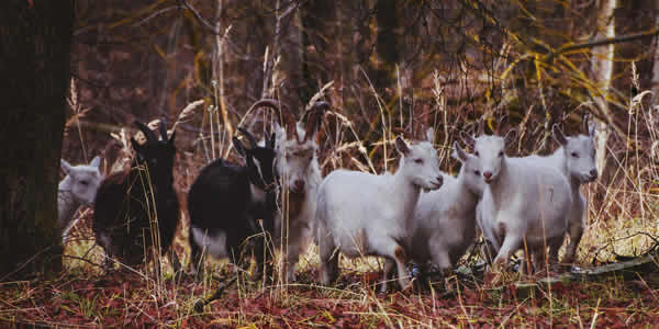 Woodland goat grazing