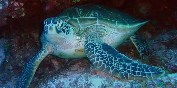 Green sea turtle population recovery
