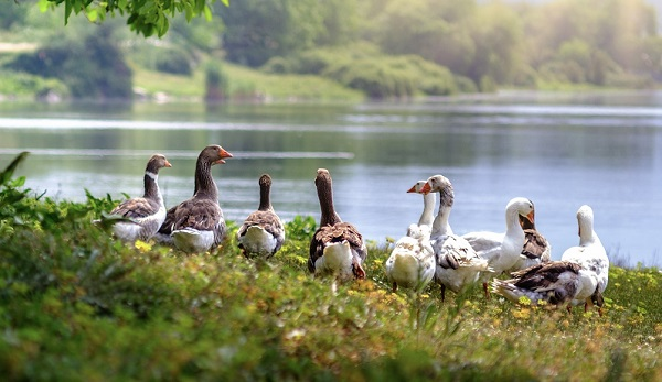 Geese for foie gras production