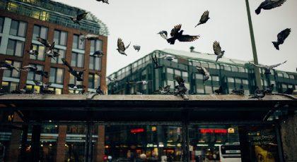 Pigeon population control measures