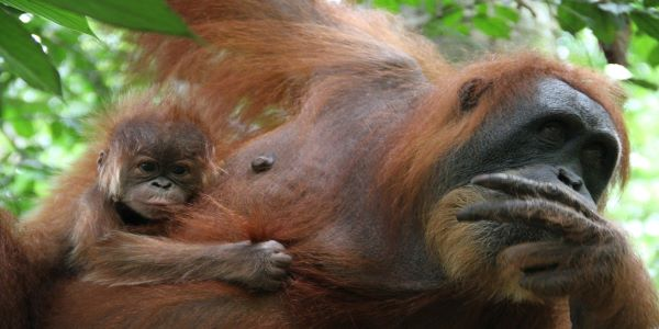 Orangutan mother