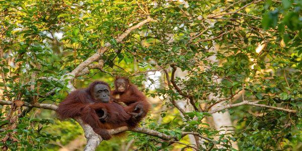 Orangutan mother in natural habitat