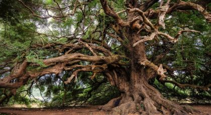 Oldest trees on Earth