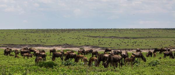 Ngorongoro Conservation Area wildebeest