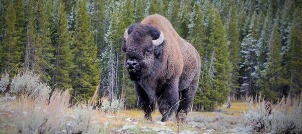 Bison an example of living megafauna