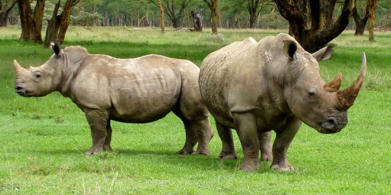 Rhinos living megafauna