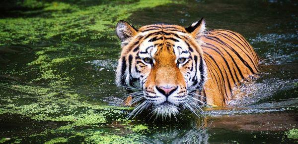Tiger a living megacarnivore